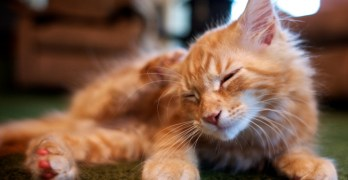 Chronic Ear Infections in Cats