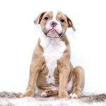 Dogma of dominance: social hierarchy behavior in the human-canine bond