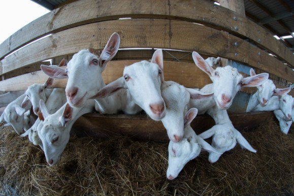 Les bébés chèvres !  - En savoir plus : http://paysansdavenir.com/le-coin-des-innovations-chevres-au-vert/