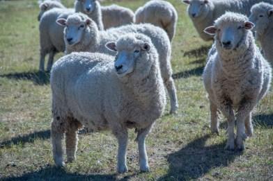 Les moutons de Ben - http://paysansdavenir.com/portrait-dagriculteur-ben-richards-8040-moutons/