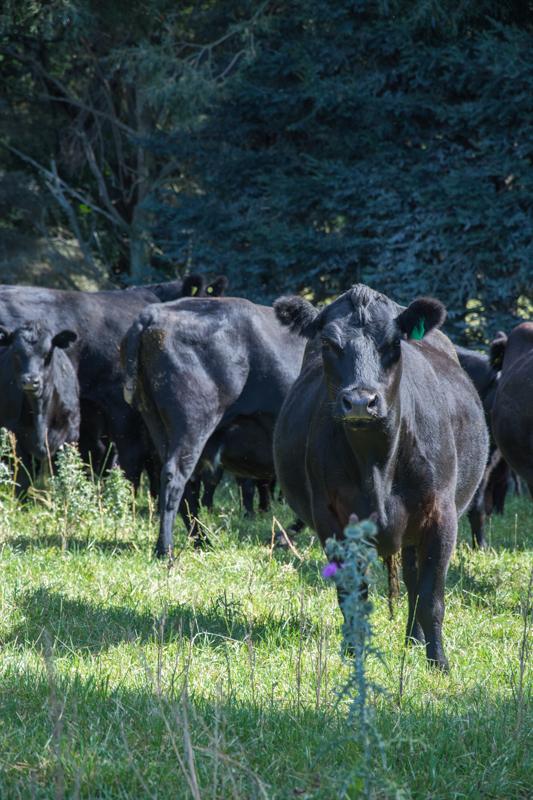 Vaches noires de Ben Richards - Nouvelle-Zélande
