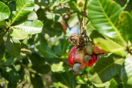 Les noix de cajou sur l'arbre. Ce que l'on mange: la partie verte ! - http://paysansdavenir.com/plongee-au-coeur-de-la-filiere-noix-de-cajou-de-binh-phuoc-vietnam/