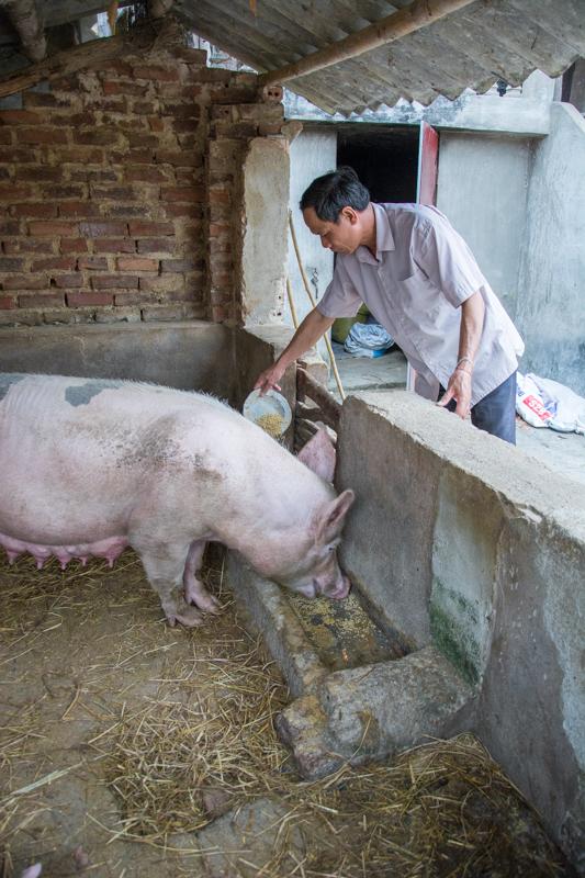 Lo Van E en train de nourrir une de ses truies