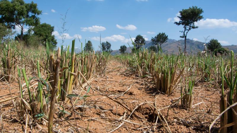 Le riz pluvial fraîchement moissonné