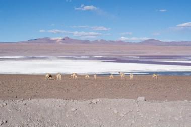 Uyuni - Quelques vigognes, ses animaux élégants vivants en haute altitude