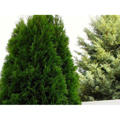 Medium Crop Of Carolina Sapphire Cypress