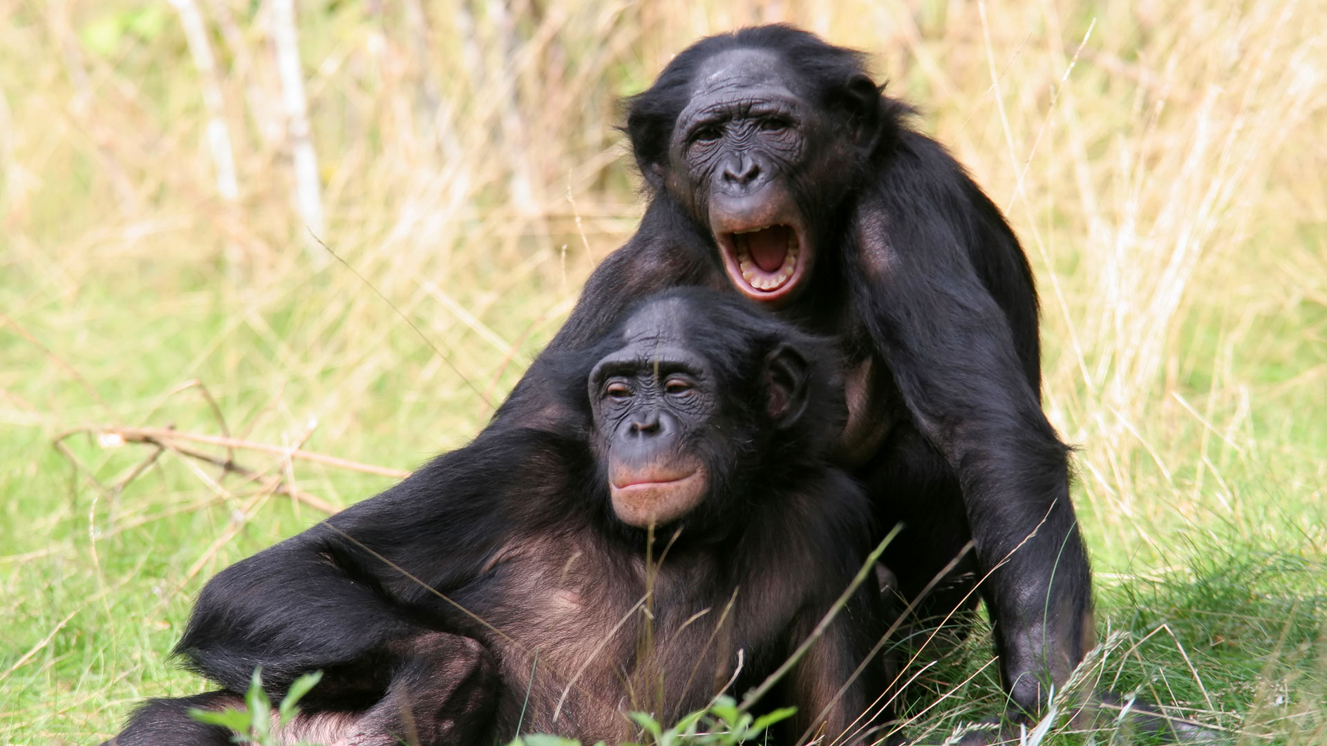 Bonobos Apareandose Nova Official Website Cooperative Apes