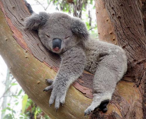 Cute Funny Wallpapers For Lazy Peopke Uberfacts On Twitter Quot Koalas Sleep For 22 Hours A Day