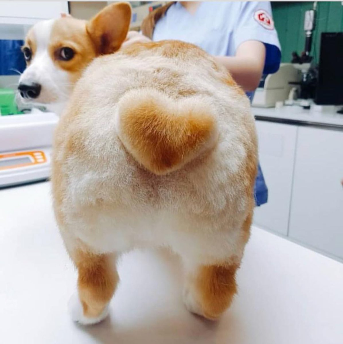 Robust Puppybf On Butts Drive Me Nuts Corgi Heart Butt Corgi Heart Butt Meme bark post Corgi Heart Butt