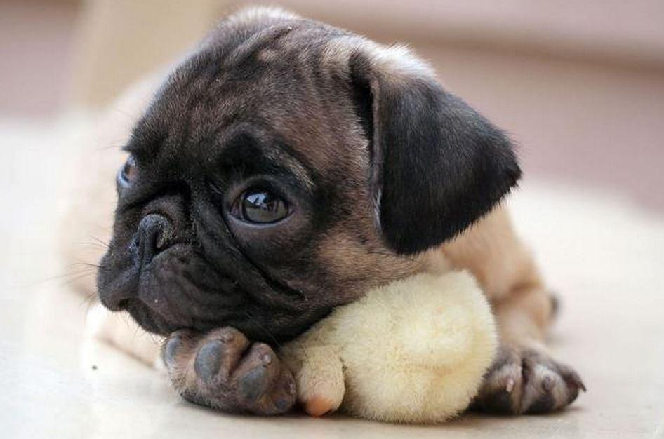 Cute Newborn Baby Hd Wallpapers Snug As A Hug In A Pug A Chick Cuddles Up To Its Unlikely