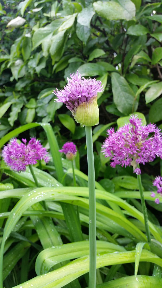 Allium Pflanzen Wann Allioideae Hashtag On Twitter