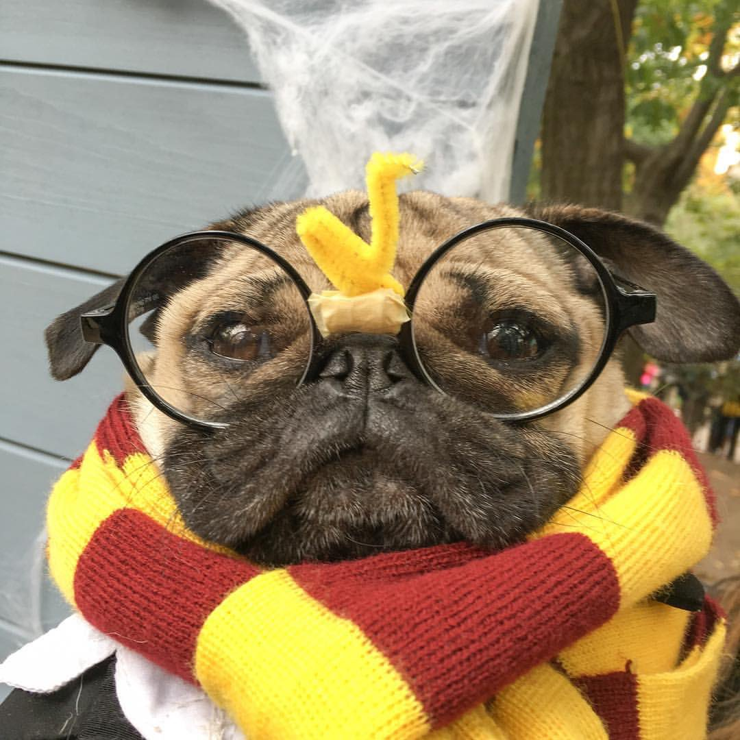 Fall Puppy Wallpaper Doug The Pug On Twitter Quot Happy Birthday Harry Potter ⚡️