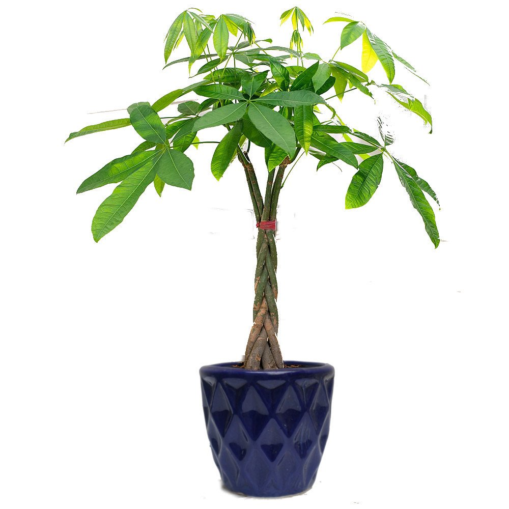 Bonsai Ficus Microcarpa Ginseng Pflege Armoured Vehicles Latin America These Bonsai Ficus