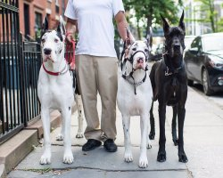 Small Of How Long Do Great Danes Live