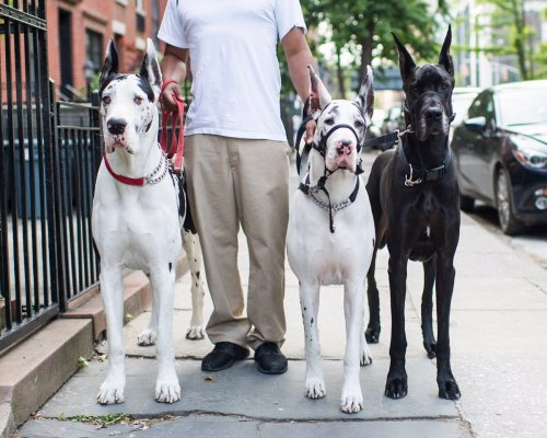 Medium Of How Long Do Great Danes Live