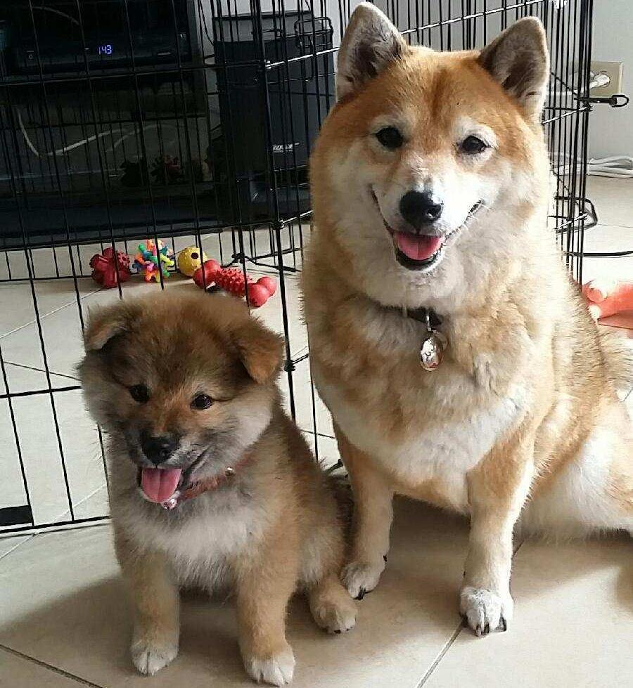 Fullsize Of Shiba Inu Smile