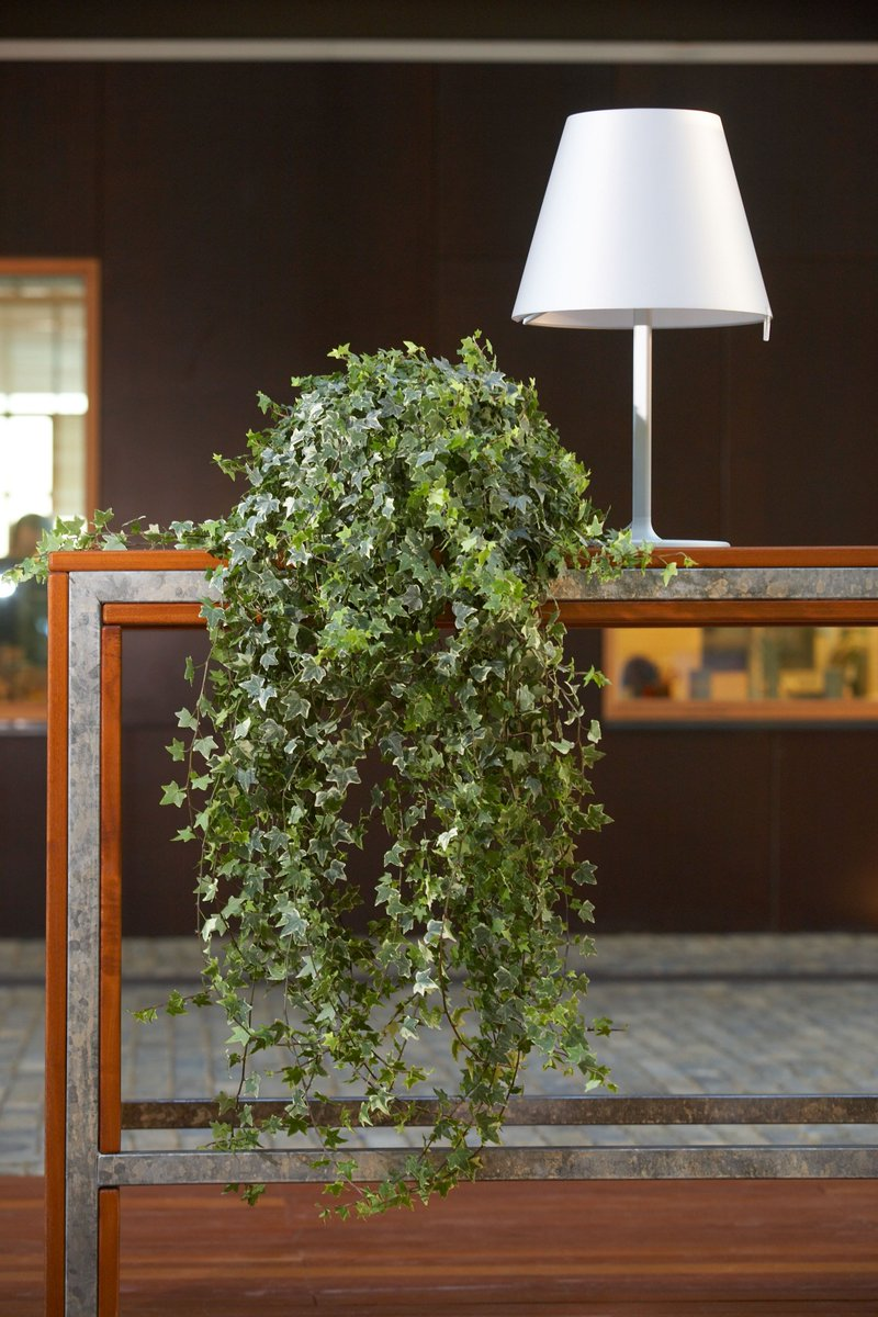 Hedera Hangplant Air So Pure Planten On Twitter