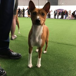 Dashing Images Breed Are Foundin Ancient Egyptian Watch Basenji Breed Judging At Westminster Dog Show On Is Among Est Is Among Est Breeds