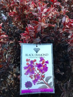 Small Of Black Diamond Crape Myrtle