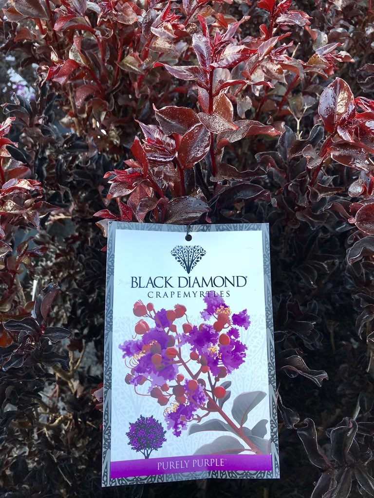 Large Of Black Diamond Crape Myrtle