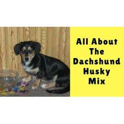 Small Crop Of Dachshund Husky Mix