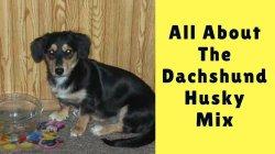Small Of Dachshund Husky Mix