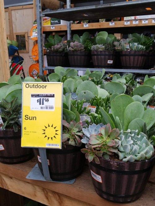 Medium Of Succulents Home Depot