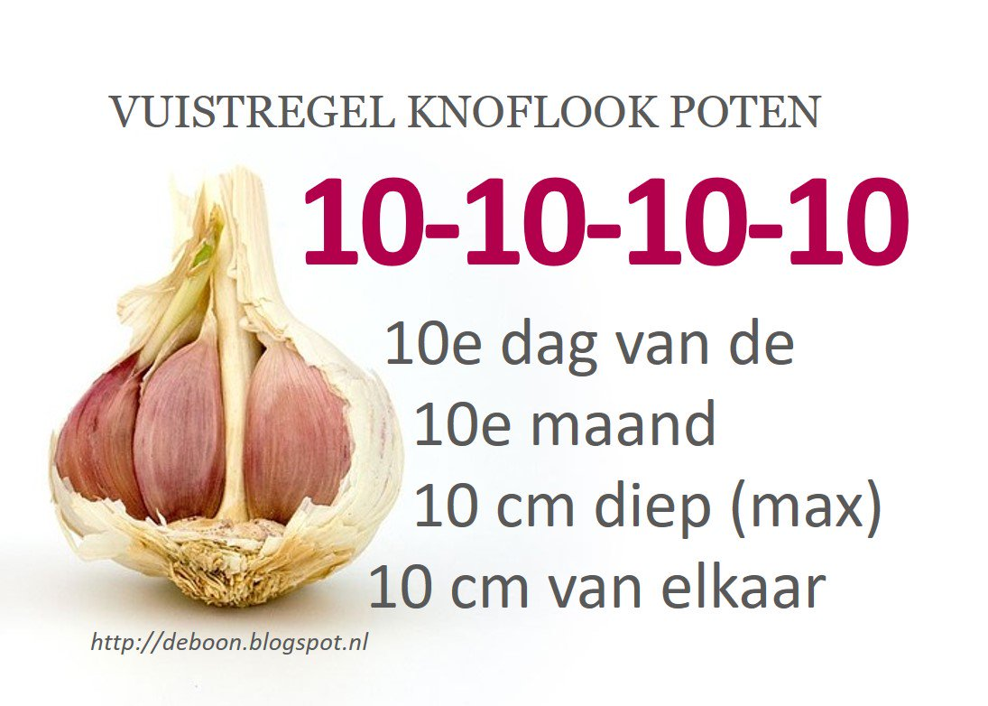 Knoflook Poten De Boon In De Tuin On Twitter