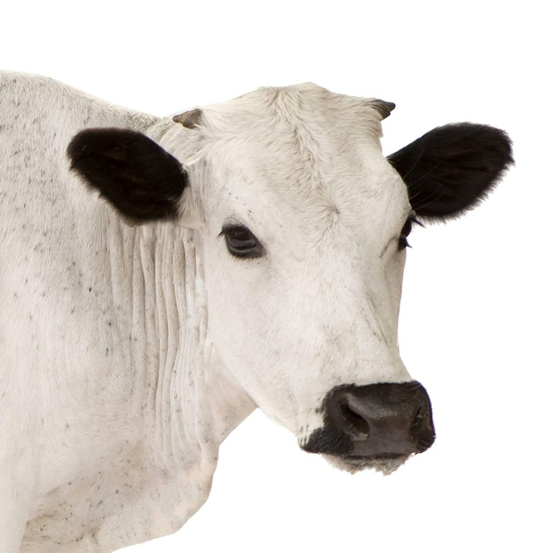 Large Of Can Cows Go Down Stairs