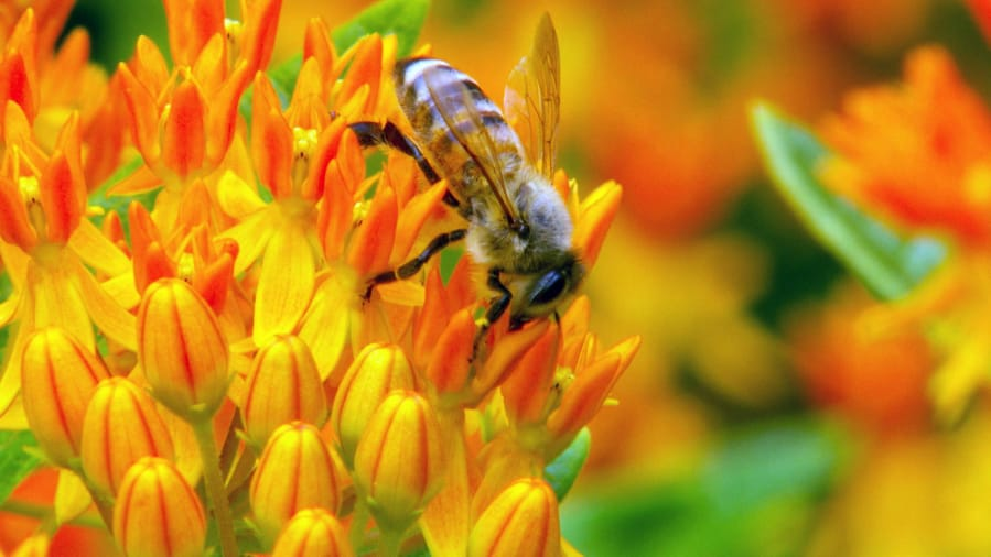 The search is on for every bee species in Oregon The Columbian