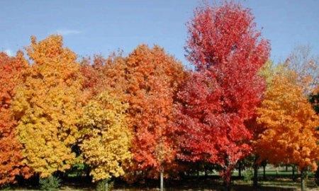 sugarmaple_tree