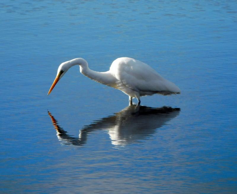 Egret by Jane Williams