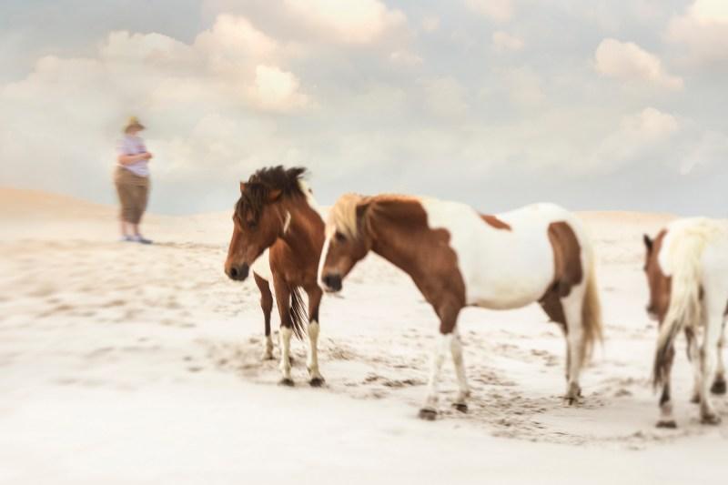www.pegasebuzz.com | Equestrian photography : Jan Lakey - Wild Horses on Assateague Island.