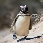 マゼランペンギンの大人の写真