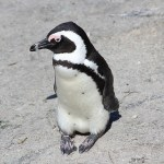 ケープペンギンの大人の写真