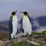 向かい合うキングペンギン