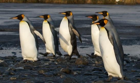 キングペンギンの大人の写真