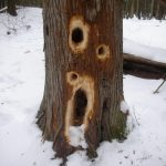 Pileated Woodpecker Holes. Photo by Bill Schaars.