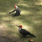 Pileated Woodpeckers. Photo by Lindsey Morrow.