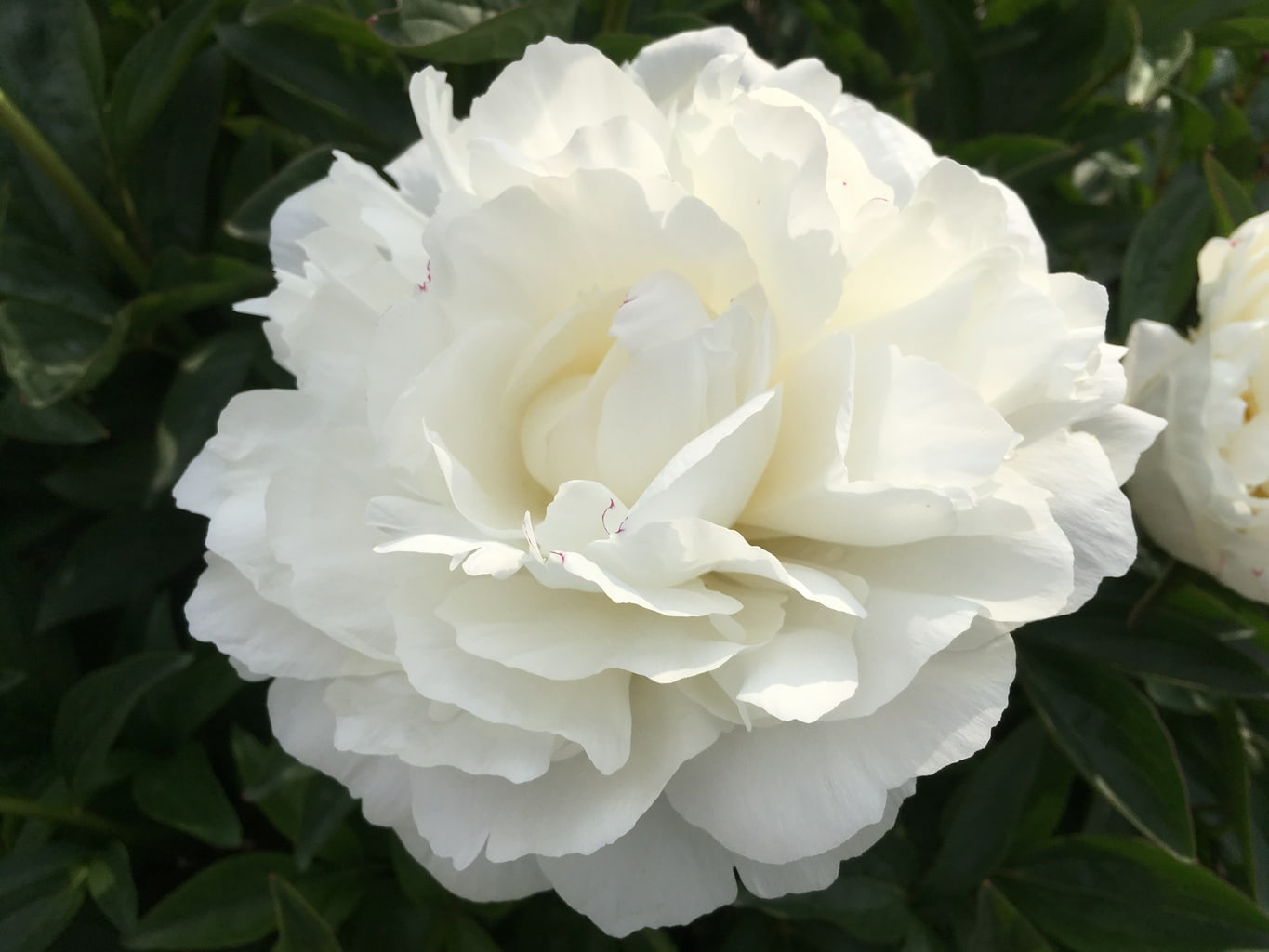 Pianese Flowers Season S Overview 2018 The Peony Society