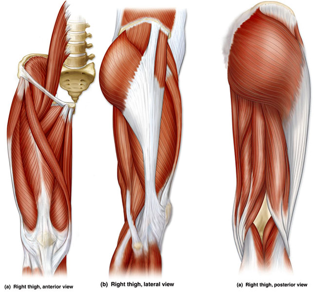 Name the Thigh Muscles Quiz - By jenniferstai13