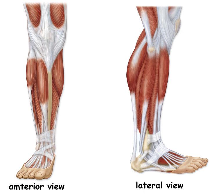 Anterior Leg Muscle Anatomy