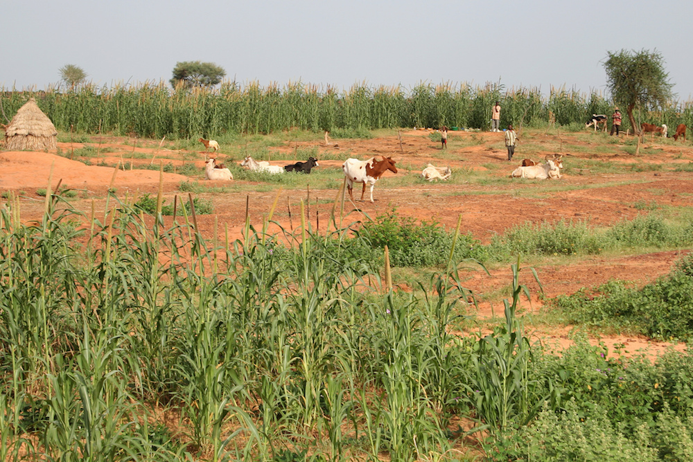 Pearl millet is grown under marginal dryland conditions in Niger (foreground). Around the household the soil is more fertile - making the crop more productive (background). Photo: ICRISAT/M. Winslow on Flickr