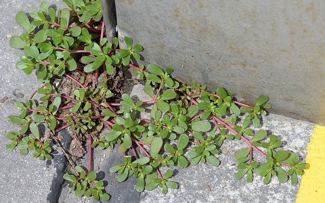 Stop Calling It Just A Weed, It's One Of The Best Plants To Boost Your Health.(VIDEO) Portulaca oleracea , purslane
