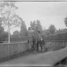 Elephant in a zoo enclosure, ca. 1890-ca. 1915 (www.slv.vic.gov.au)