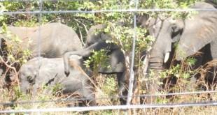 Malawi: reubicar elefantes para salvarles la vida