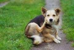Eliminar los Piojos en mi Perro