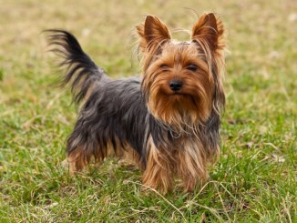 Consejos para Cuidar a un Yorkshire Terrier