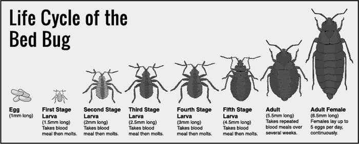 Bed Bug life cycle-Eggs, Baby(Nymph) to Adult Stages  Pictures