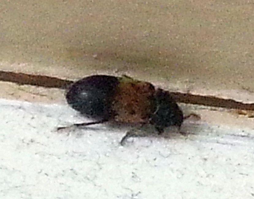 Larder Beetle Pest Control Canada